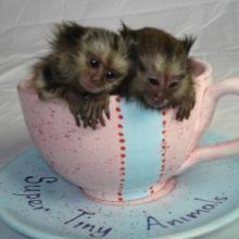 Charming Marmoset Monkeys Image eClassifieds4u 1
