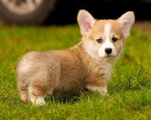 Excellent Corgi puppies available for adoption Text or call (708) 928-5512