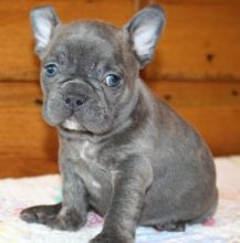 Healthy French Bulldog puppies available for adoption Text or call (708) 928-5512