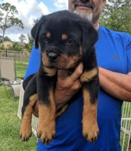 outstanding male and female rottweiler puppies