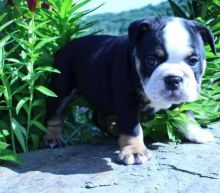 very energetic and playful olde English bulldogges puppies
