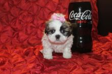 Gorgeous Shihtzu puppies need home