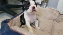 Awesome male and female Boston terrier puppies