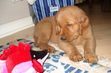 Golden Retriever Puppies available. Shots are up to date . Feel free to call or text for details.