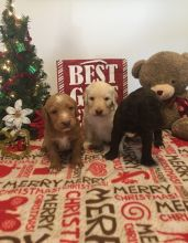 Labradoodle Puppies (Male and Female) Available
