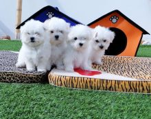 Maltese puppies available, current on vaccinations, well trained and dewclaws removed
