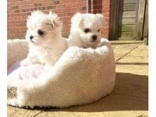 Maltese puppies available, current on vaccinations, well trained and good with kids