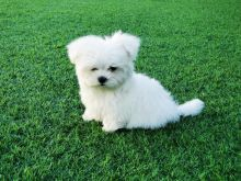 Maltese puppies available, current on vaccinations, well trained, comes with papers