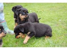 Rottweiler Puppies available,Well Trained and updated on vaccines.