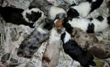 Cute Aussiedoodle Puppies Available Image eClassifieds4U