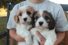 Cute Cavachon Puppies Available Image eClassifieds4U
