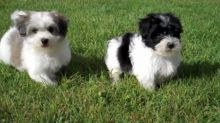 Cute Havanese Puppies Available Image eClassifieds4U