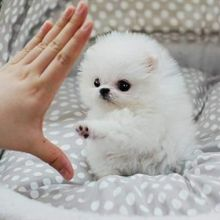 I have gorgeous Male and Female Pomeranian puppies