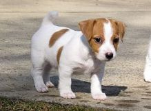 Lovely Jack Russell puppies for adoption
