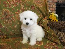 We are offering our 2 Bichon Frise puppies for adoption