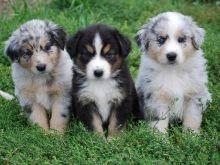 Australian Shepherd Puppies for Rehoming,