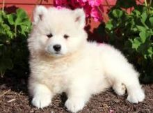 Charming male and female Samoyed puppies