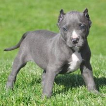Quality ckc male and female Pitbull puppies available for adoption.