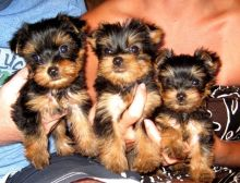 Yorkie puppies available, vet checked and vaccinated, have been potty trained.
