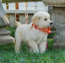Golden Retriever puppies ready . healthy and potty trained, first set of vaccines taken. Image eClassifieds4u 1