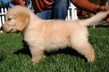 Golden Retriever puppies ready . healthy and potty trained, first set of vaccines taken. Image eClassifieds4u 2