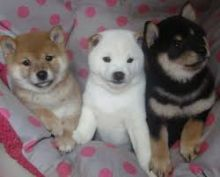 Beautiful Shiba Inu puppies available now,