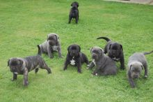Beautiful Cane Corso puppies male and female Available .
