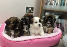 Beautiful Lhasa Apso Puppies Available