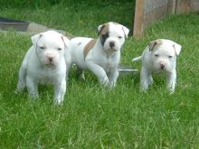 Cute American bulldog puppies for Rehoming