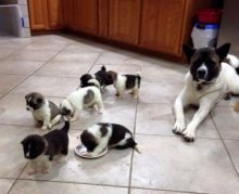 Cute colors Akita Inu puppies available