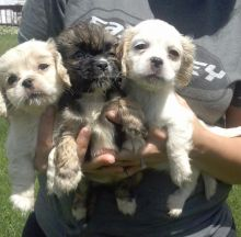 Ethical Co-ck-apoo Pups Available