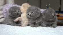 Excellent Scottish fold Kittens Available ,Email At (kauas2108@gmail.com )