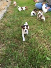 Jack Russell puppies available, updated on vaccines and comes with health guarantee