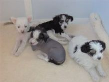 Wonderful Chinese crested pups Available