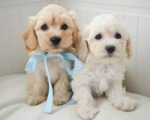 Awesome Cavapoochon puppies for adoption