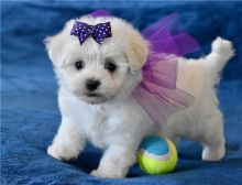 Purebred maltese puppies for adoption Image eClassifieds4U