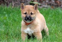 Family raised Shiba Inu puppies for adoption Image eClassifieds4U