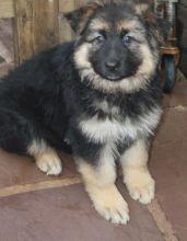 Quality German Shepherd puppies