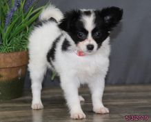 Adorable and Nice Papillon Puppies For Re-Home