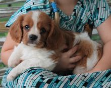 Excellent Beautiful Gorgeous Male And Female cavalier king charles spaniel