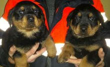 Rottweiler Puppies Ready Now for sale
