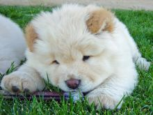 Lovely chow chow Puppies for Sale Image eClassifieds4U