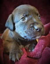 4 ADORABLE BOXADOR PUPPIES AVAILABLE