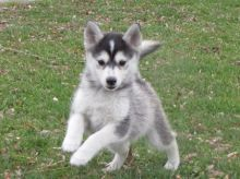 Registered and home raised Pomsky Puppies For You