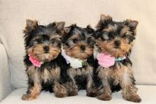 Gorgeous male and female Yorkie puppies for adoption Text / call (437) 536 6127 Image eClassifieds4u 2