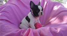Attractive male and female French Bulldog puppies