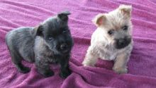 Cute Cairn Terrier puppies Available