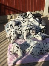Beautiful Dalmatian Puppies available Image eClassifieds4U