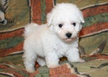 Male and female Bichon Frise puppies for adoption Image eClassifieds4U