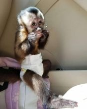 Diapers trained Capuchin monkeys for rehoming